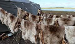 Марка «Сделано в Арктике» разрабатывает проект по закупке и вывозу оленьих шкур из населенных пунктов Арктики