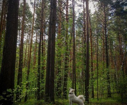 ЦС КМНС – Селькупы – лесные люди