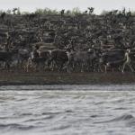 Ученые предложили конкретные меры поуменьшению процента гибели диких оленей на переправах Таймыра в будущем